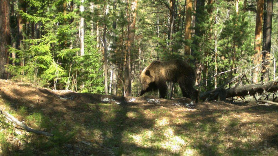 «Столбы» закрыли на10 дней из-за вылазок медведей ктуристам